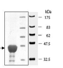 SDS-PAGE - Recombinant human AHA1 protein (ab80352)