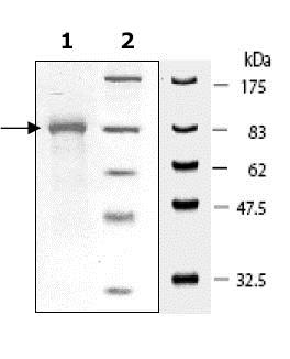 SDS-PAGE - Recombinant Human Hsp90 beta protein (ab80353)