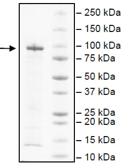 SDS-PAGE - Recombinant human Hsp90 alpha protein (ab80369)