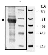 SDS-PAGE - Recombinant human cGKI protein (ab80375)