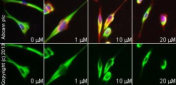 Immunocytochemistry/ Immunofluorescence - Anti-Tau antibody [TAU-5] - BSA and Azide free (ab80579)