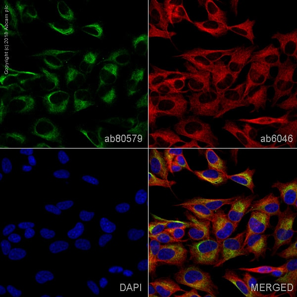 Immunocytochemistry/ Immunofluorescence - Anti-Tau antibody [TAU-5] - BSA and Azide free (ab80579)