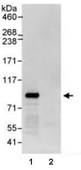 Immunoprecipitation - Anti-WDR91 antibody (ab80614)
