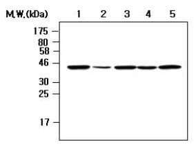 Western blot - Anti-Nck-2 antibody [AF3F11] (ab80618)