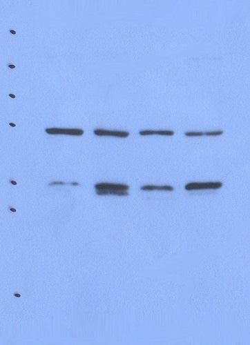 Western blot - Anti-Nck 1/2 antibody [AF6D7] (ab80620)