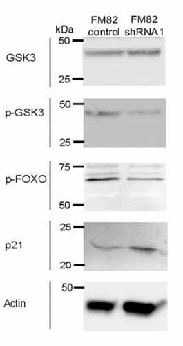 Western blot - Anti-p21 antibody [CP74] (ab80633)