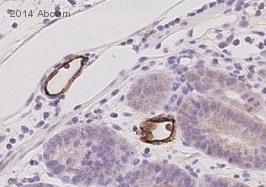 Immunohistochemistry (Formalin/PFA-fixed paraffin-embedded sections) - Anti-MAdCAM1 antibody [AP-MAB0842] (ab80680)