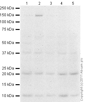 Western blot - Anti-IL23 antibody (ab80893)