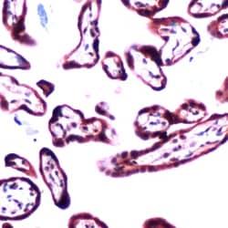 Immunohistochemistry (Formalin/PFA-fixed paraffin-embedded sections) - Anti-TGF beta 2 antibody (ab81076)