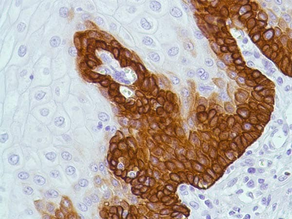 Immunohistochemistry (Formalin/PFA-fixed paraffin-embedded sections) - Anti-Bax antibody [SP47] (ab81083)