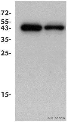 Western blot - Anti-BRN3A antibody [EP1972Y] (ab81213)