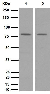 Western blot - Anti-MARCKS (phospho S158) antibody [EP2113Y] (ab81295)