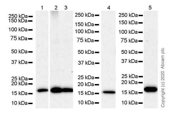 Western blot - Anti-Sumo 2 + Sumo 3 antibody [8A2] - ChIP Grade (ab81371)