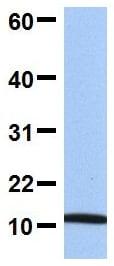 Western blot - Anti-FAU / 40S ribosomal protein S30 antibody (ab81442)