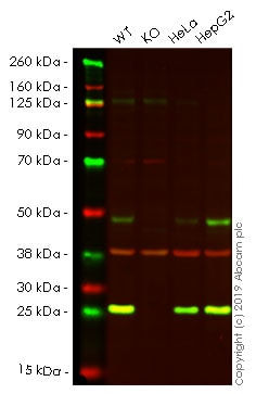 Western blot - Anti-GLO1 antibody [6F10] (ab81461)