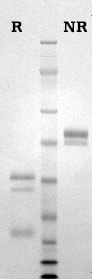 SDS-PAGE - Native cow Protein C (ab81581)