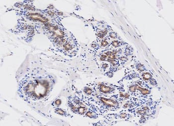 Immunohistochemistry (Formalin/PFA-fixed paraffin-embedded sections) - Anti-Wnt3a antibody [3A6] (ab81614)