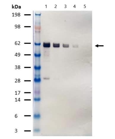 Western blot - Alkaline Phosphatase Anti-HA tag antibody [16B12] (ab81656)