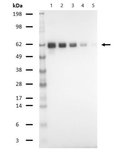 Western blot - Biotin Anti-T7 tag® antibody (ab81661)