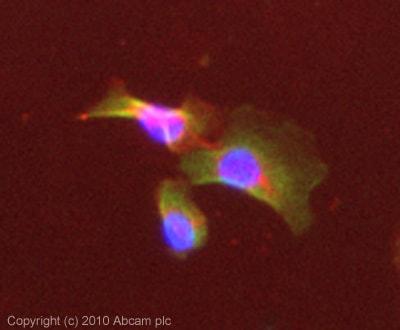 Immunocytochemistry/ Immunofluorescence - Anti-Puma gamma/GPR109A antibody (ab81825)