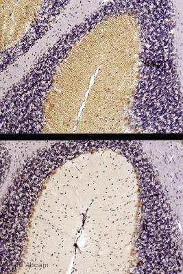 Immunohistochemistry (Formalin/PFA-fixed paraffin-embedded sections) - Anti-DAGLA antibody (ab81984)