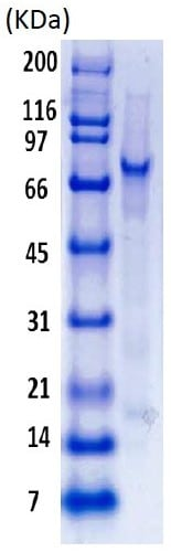 SDS-PAGE - Recombinant Human MDM2 protein (ab82080)