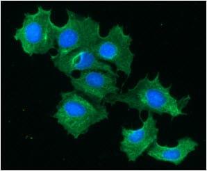Immunocytochemistry/ Immunofluorescence - Anti-liver FABP antibody [2G4] (ab82157)