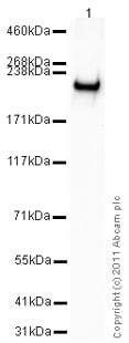 Western blot - Recombinant human BRG1 protein (ab82237)