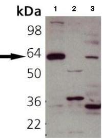 Western blot - Anti-SYT1 antibody (ab82414)