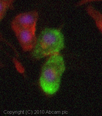 Immunocytochemistry/ Immunofluorescence - Anti-Dynorphin A antibody (ab82509)