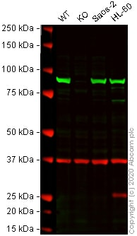 Western blot - Anti-Hsp90 beta antibody [K3705] (ab82522)