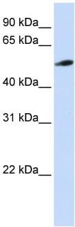 Western blot - Anti-PYROXD2 antibody (ab82780)