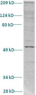 Western blot - Anti-SHARP1 antibody (ab82825)