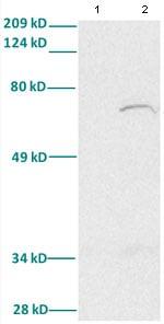 Western blot - Anti-FOXA2 antibody (ab82827)