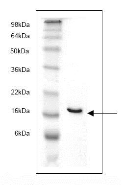 SDS-PAGE - Recombinant Human FABP4 protein (ab82834)