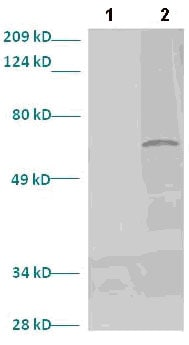 Western blot - Anti-LMX1b antibody (ab82835)