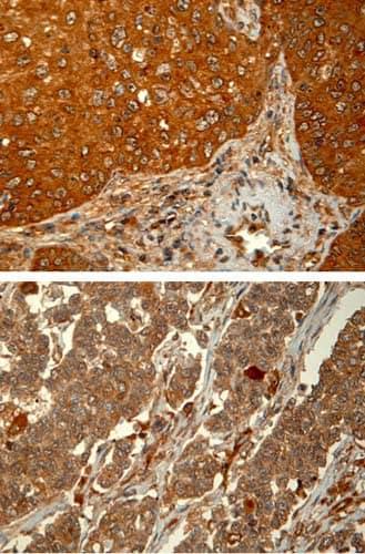 Immunohistochemistry (Formalin/PFA-fixed paraffin-embedded sections) - Anti-PHD1/prolyl hydroxylase antibody [PHD112/G7] (ab82884)