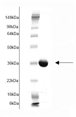 SDS-PAGE - Recombinant Human glutathione S transferase Omega 1/p28 (mutated ) protein (ab82954)
