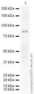 Western blot - Recombinant Human MMP9 protein (Proenzyme) (ab82955)