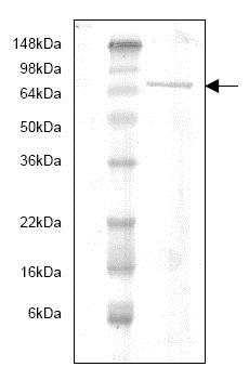 SDS-PAGE - Recombinant Human MMP9 protein (Proenzyme) (ab82955)