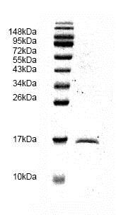 SDS-PAGE - Recombinant Human TGF beta 1 protein (ab82991)