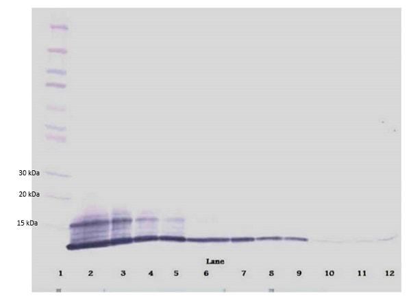 Western blot - Biotin Anti-RANTES antibody (ab83135)