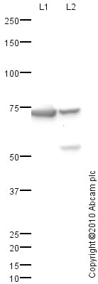 Western blot - Anti-CDT1/DUP antibody (ab83174)