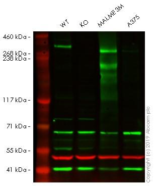 Western blot - Anti-NG2 antibody (ab83178)