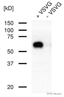 Western blot - Anti-VSV-G tag antibody (ab83196)