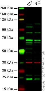 Western blot - Anti-ATF6 antibody (ab83504)