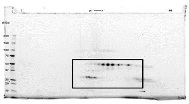 SDS-PAGE - Recombinant Human VEGFC protein (ab83573)