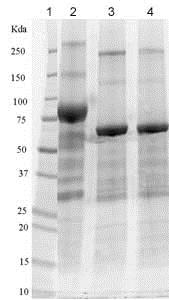 SDS-PAGE - Recombinant Human IL1 Receptor I/IL-1R-1 protein (Fc Chimera) (ab83575)