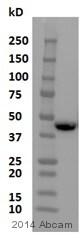 Western blot - Anti-Tristetraprolin/TTP antibody (ab83579)