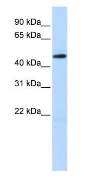 Western blot - Anti-TEA domain family member 2/ETF antibody (ab83670)